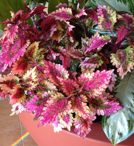 Coleus plant from the Manhattan Beach Mall.