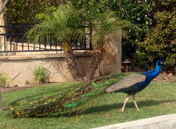 The peacocks of Malaga Cove
