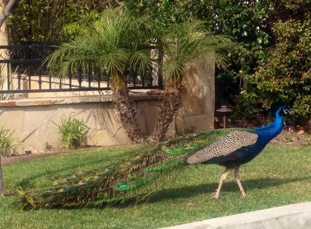 The peacocks of Malaga Cove