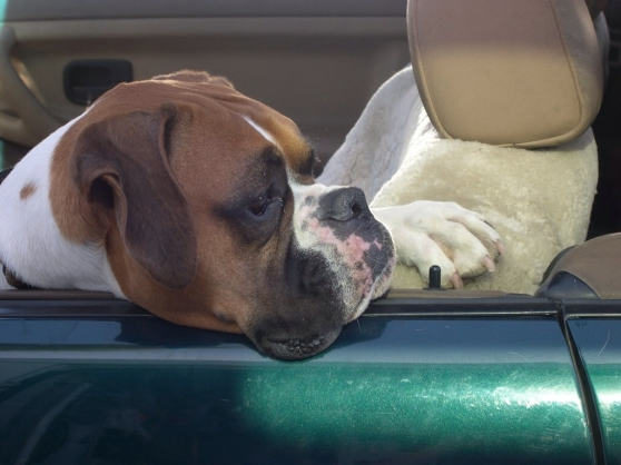 Boxer in a BMW