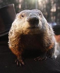 Punxsutawney  Phil at the 2015 Groundhog Day Celebration.