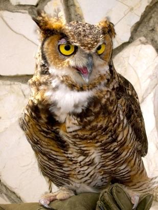 California Great Horned Owl
