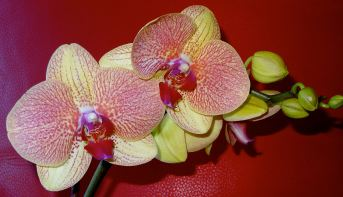 Lisa Orchid2