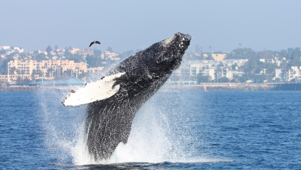 Gray Whales Return to Redondo