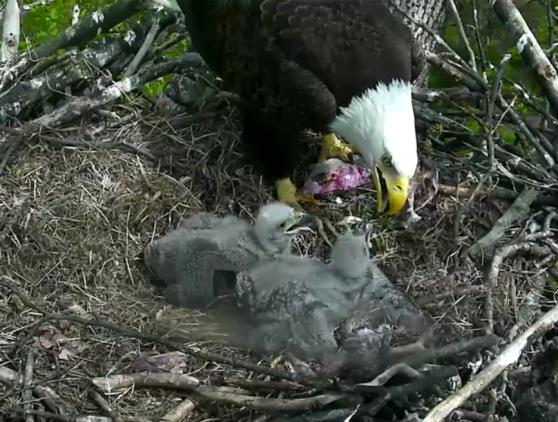 Eaglet Update.png