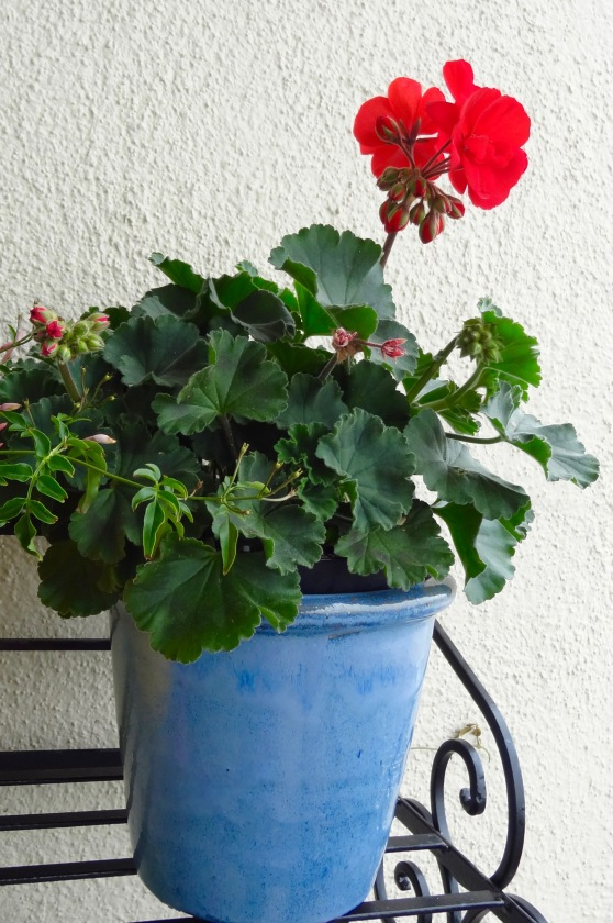 My Lovely Geraniums.jpg